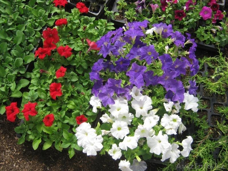 Рассада однолетних цветов фото с названиями 302