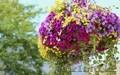 Петуния многоцветковая и бархатцы