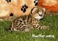 Продам котенка домашнего сервала