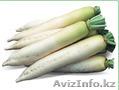 Семена Китано. Предлагаем купить семена редиса дайкон Titan F1