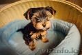 Продам милейшего щенка йоркширского терьера