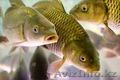 Рыбодобывающая компания продастРыбу Стерлядь Лещ Жерех Судак Сом Сазан - Рыба,  м