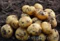 Картофель оптом  5 от производителя!