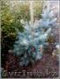 саженцы ели обыкновенной,сибирской,колючей - Изображение #4, Объявление #1575279
