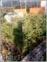 саженцы ели обыкновенной,сибирской,колючей - Изображение #8, Объявление #1575279