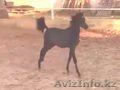 Продан! Ghazaal Al Amir - жеребенок арабский чистокровный 2017 г.р.