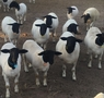 Registered and commercial Dorpers sheep for sale